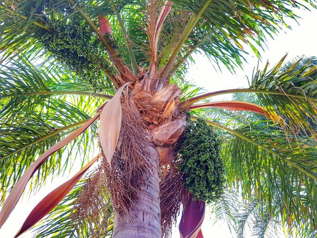 Finding Shade On A Hot Day Palm Tree Palm Trees Dates Low Angle View Tree Beauty In Nature Tranquility Shade Outdoors Clear Sky Eyeemphotography Eyeem Market From My Point Of View ForTheLoveOfPhotography EyeEm Eye4photography  Perspective Photography Is My Therapy Shady Trees Tranquil Scene Nature Palm Leaf