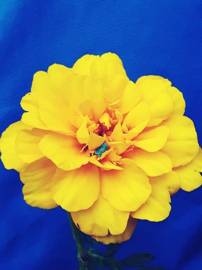 Flower Yellow Petal Fragility Blue Flower Head Multi Colored Beauty In Nature Close-up Nature Textured  No People Studio Shot Backgrounds Freshness Day Painted Image Outdoors Smartphone Wallpaper T-shirting Tagetes