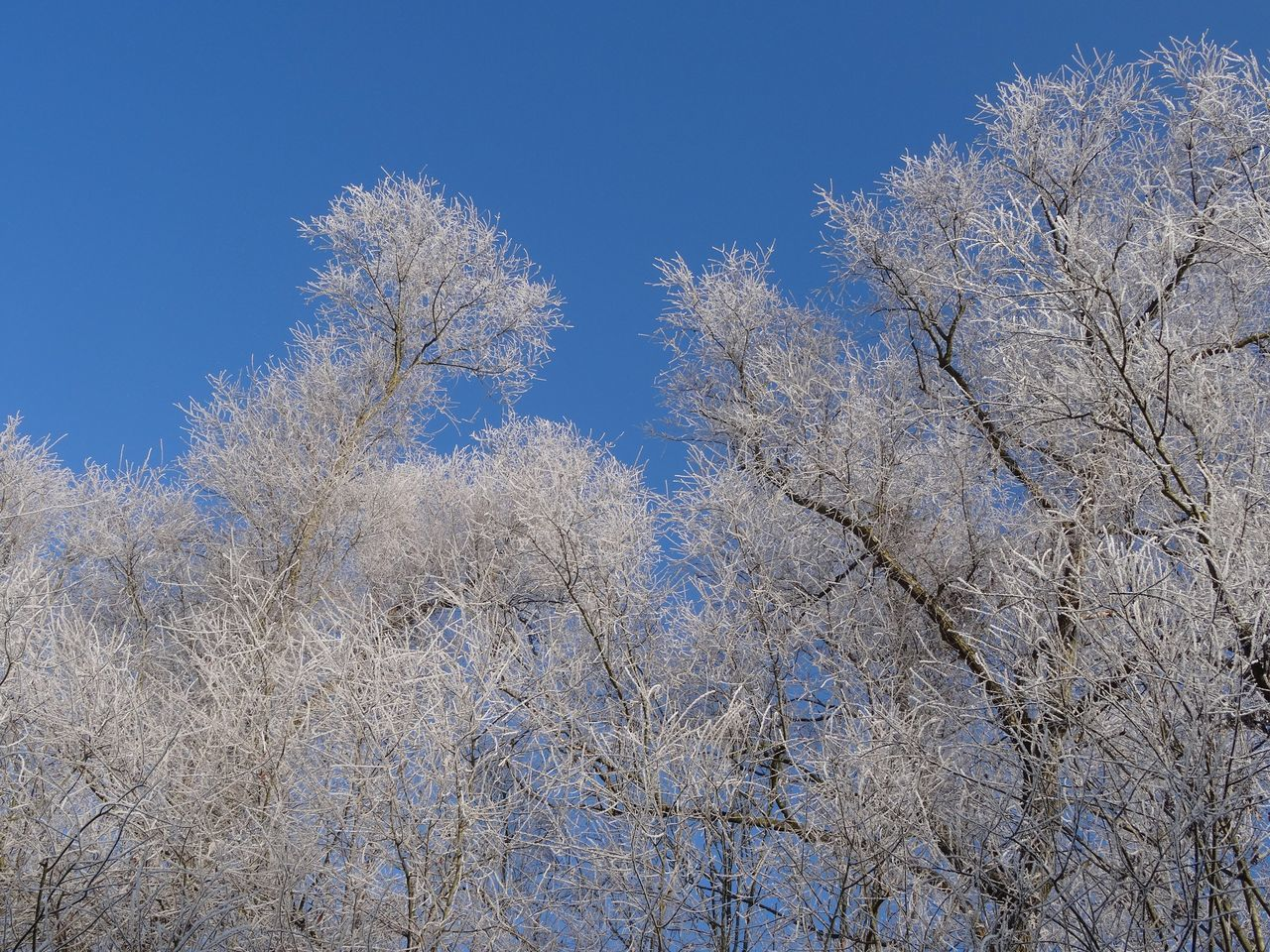Low Angle View Tree Nature Blue Clear Sky Growth Day Outdoors No People Bare Tree Tranquility Branch Beauty In Nature Sky Snow Cold Temperature White Frost Winter Wonderland
