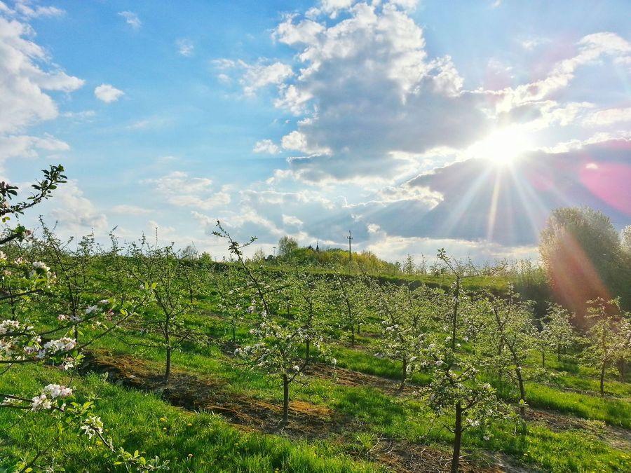 Poland Poland 💗 Chobrzany Świętokrzyskie May Garden Photography Nature Photography Beautiful Nature Apple Garden Chobrzany
