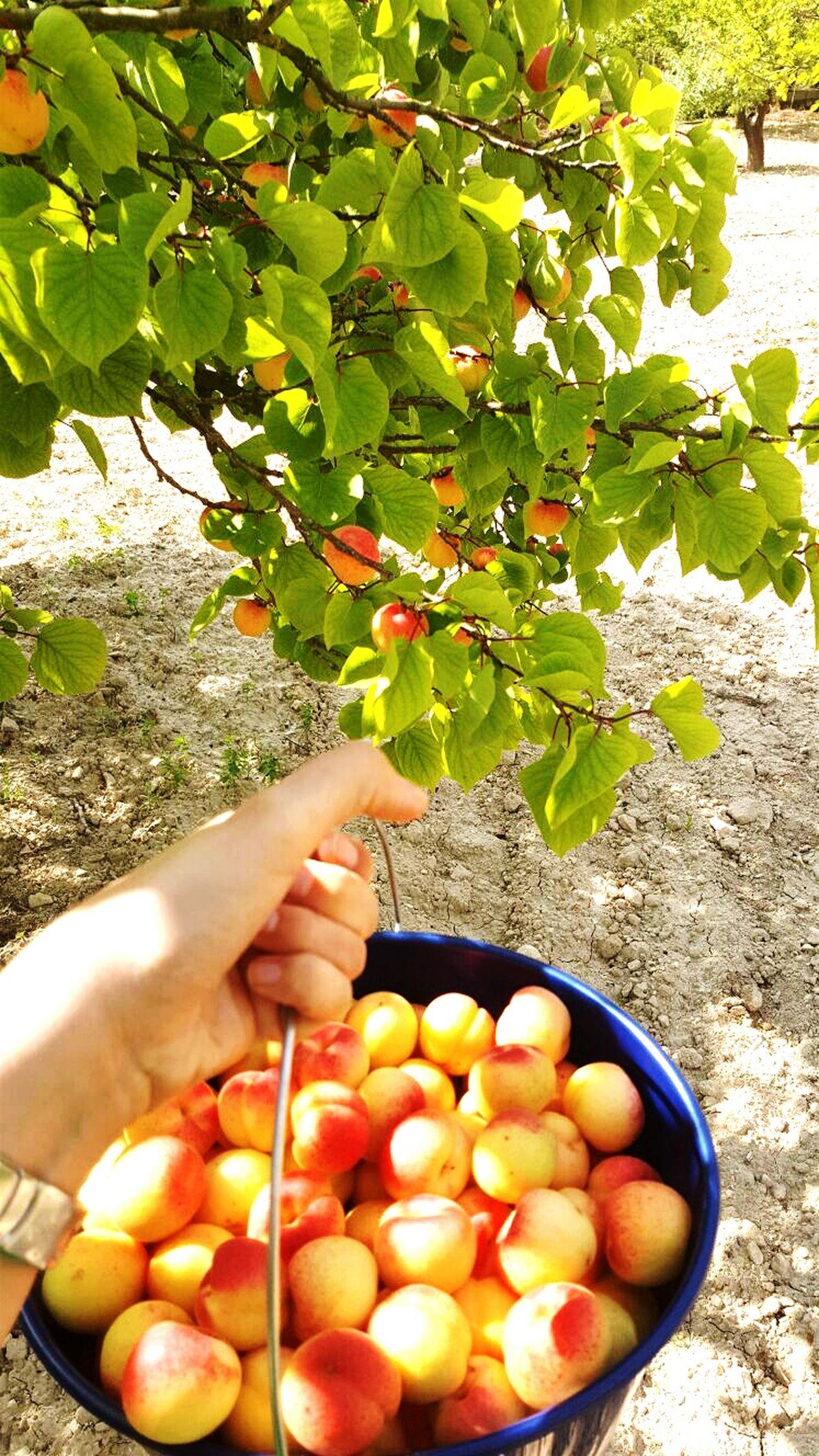 ShareTheMeal Apricot Tree Fruit Healthy Eating Tropical Fruit Nature Village Work Summer Tree Natura Beautiful