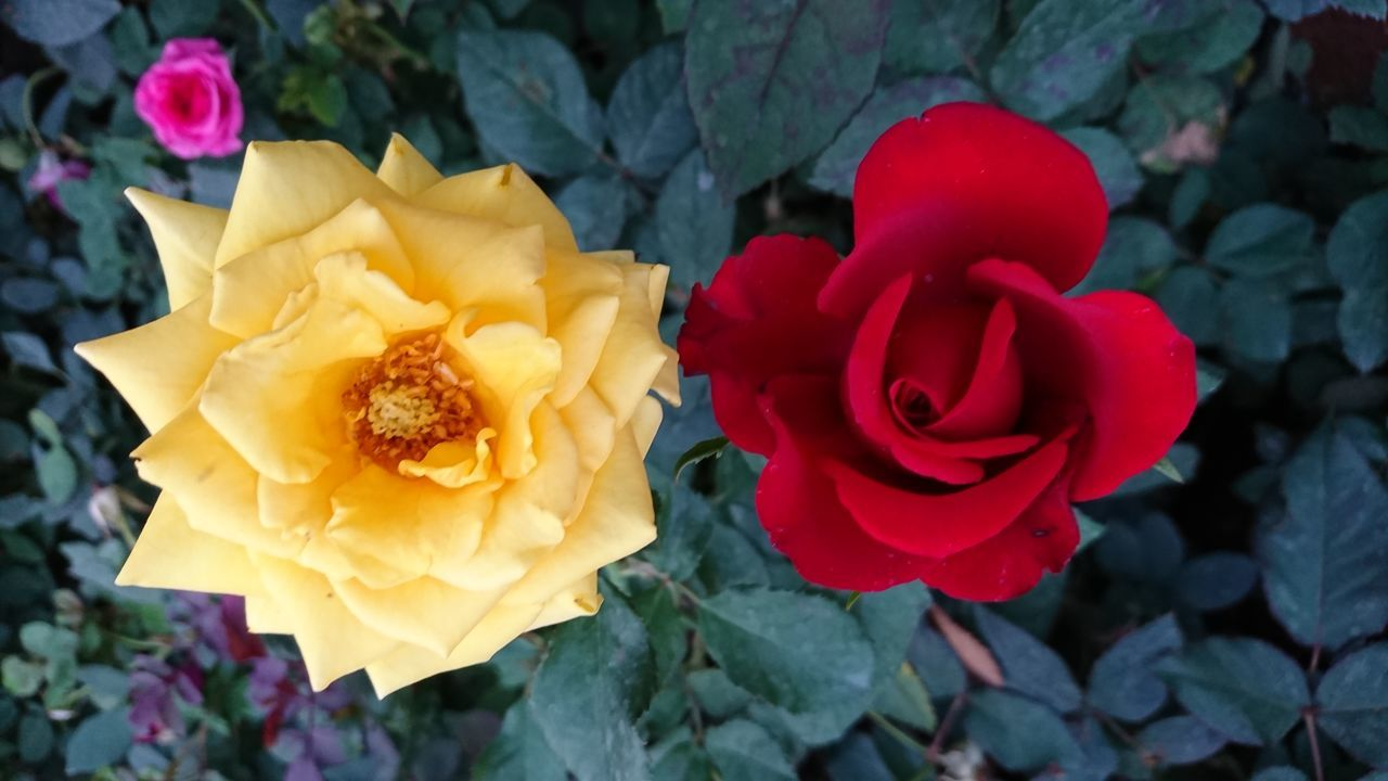 3 Roses Flower Petal Beauty In Nature Nature Flower Head Fragility Yellow Rose - Flower Freshness Blooming Leaf Close-up Plant No People Outdoors Day Small Pink Rose Yellow Rose🌹 Red Rose 🌹 Green Leaves. EyeEm Gallery Xperian Photography Sony Xperia Xz Sony Xperia Photography. Vivid Colours