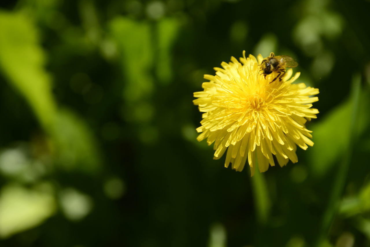 flower, yellow, petal, fragility, beauty in nature, nature, freshness, one animal, insect, flower head, growth, animals in the wild, plant, animal themes, no people, bee, outdoors, close-up, day, focus on foreground, animal wildlife, pollination, blooming, buzzing