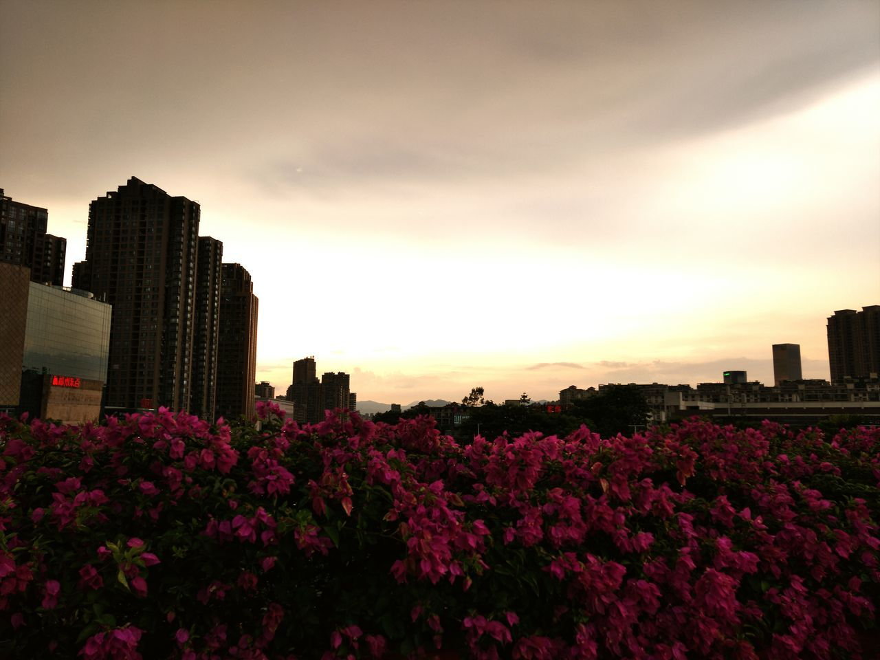View Of Pink Flowers In Park