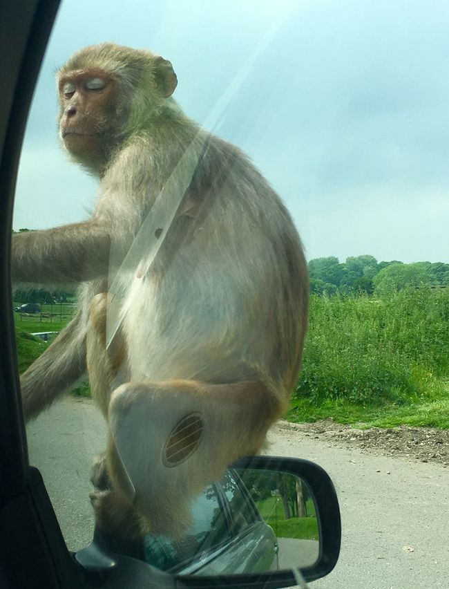 Monkey hitching a ride round Longleaf Safari Park on car wing mirror Animal Body Part Cheeky Cheeky Monkey Chilling Close-up Day Experience Focus On Foreground Longleat Longleat Safari Park Mammal Monkey Monkey On Car Napping Napping Dogs Nature Nature Naughty Girl  No People Outdoors Portrait Safari Park Sky Sunny Wildlife