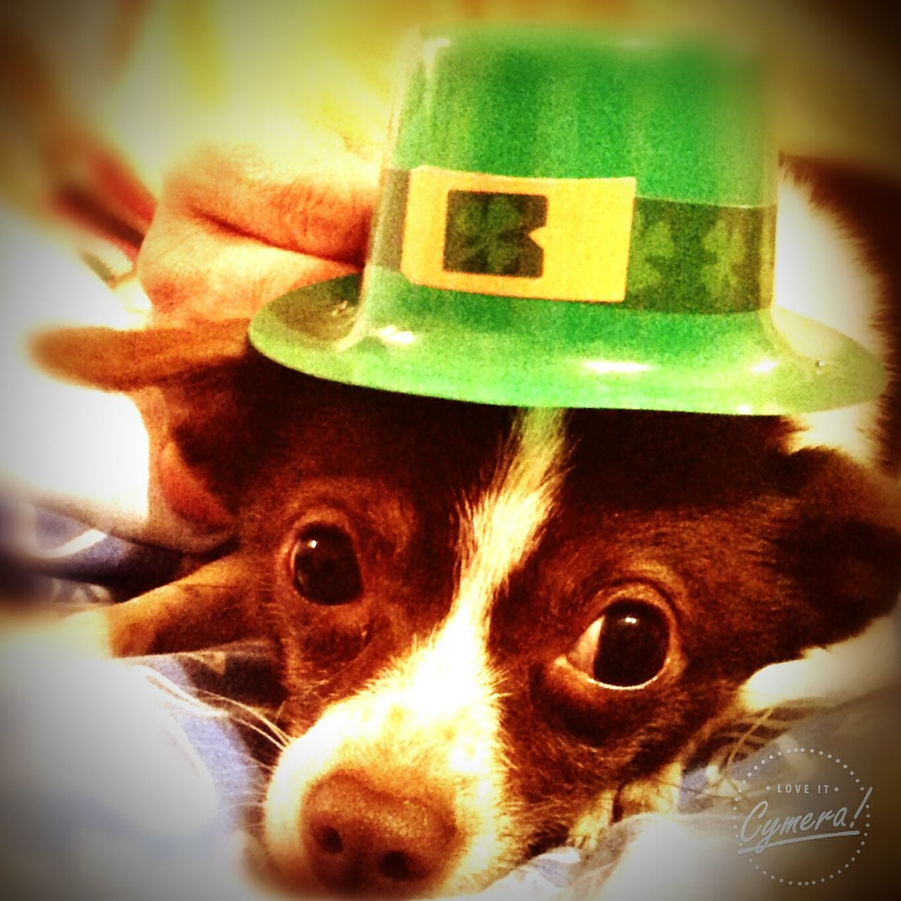 Lucy Goose Jack Russell Pomeranian Mix St Patrick Day Tracy McAfee Dog Life Douglasville Georgia I Love My Dog!  Fightbreastcancer
