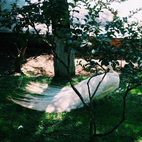 孔雀 动物 Niao 鸟类 昆明