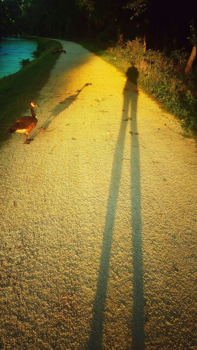 Walking Trail Outdoors Path Shadows Wildlife Goose Long Shadows Golden Hour Golden Moments 43 Cast A Shadow Evening Sun From My Point Of View From My Eyes To Yours Letgodhandleit Evening Nature Beauty In Nature Standing Tall Natureporn Nature Porn Person Shadow Animal Animal Shadows