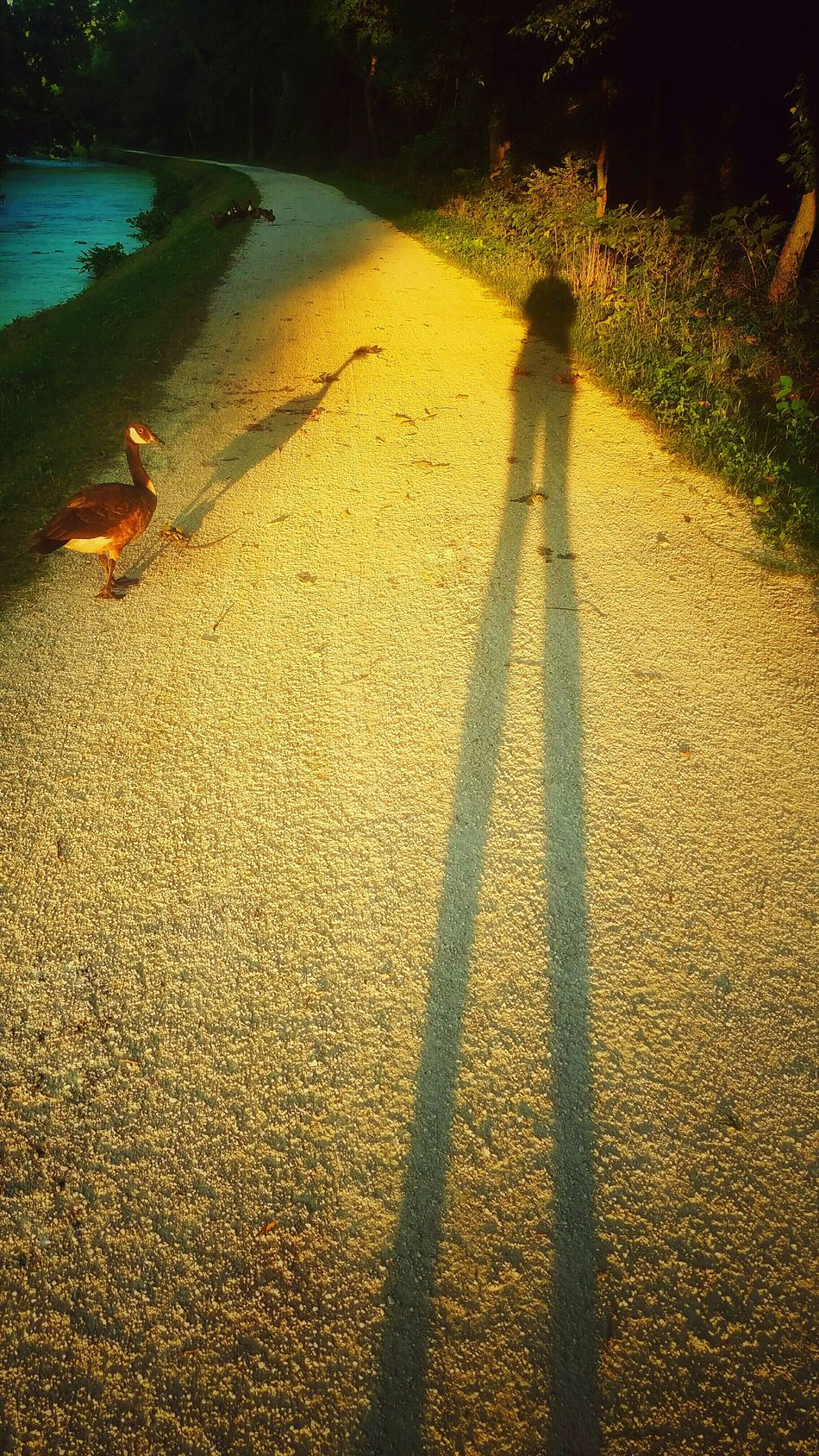 Walking Trail Outdoors Path Shadows Wildlife Goose Long Shadows Golden Hour Golden Moments 43 Cast A Shadow Evening Sun From My Point Of View From My Eyes To Yours Letgodhandleit Evening Nature Beauty In Nature Standing Tall Natureporn Nature Porn Person Shadow Animal Animal Shadows EyeEm Diversity TCPM