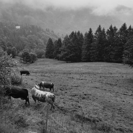 Oropa Summer Clouds Bnwphotography Blackandwhite Piemonte Biella Bnw Blackandwhite Photography Cows