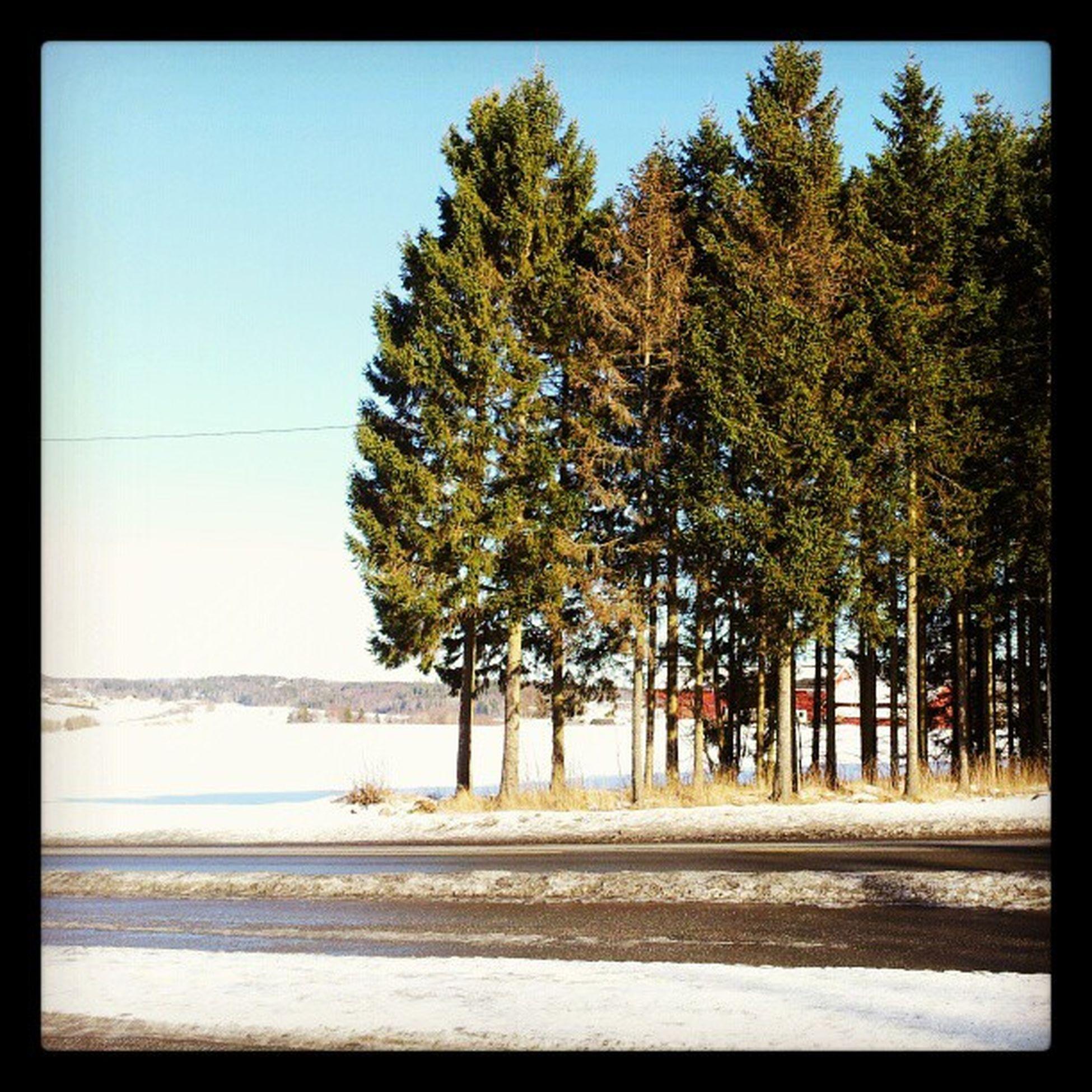 Holstad Vinter Sn ø BL åhimmel grantrær solskinn winter bluesky snow sunshine trees
