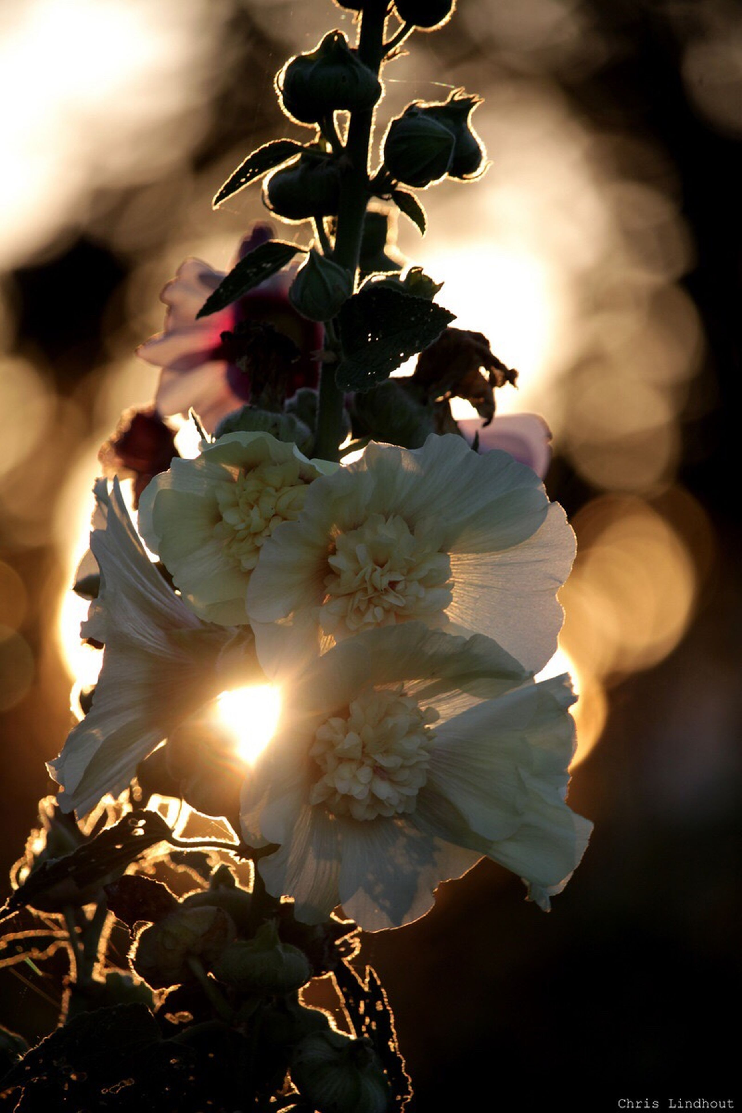 close-up, flower, back lit, sunlight, leaf, sun, freshness, plant, beauty in nature, fragility, growth, nature, blossom, sunbeam, bunch of flowers, focus on foreground, springtime, botany, bright, in bloom, cherry blossom, flower head, petal, cherry tree