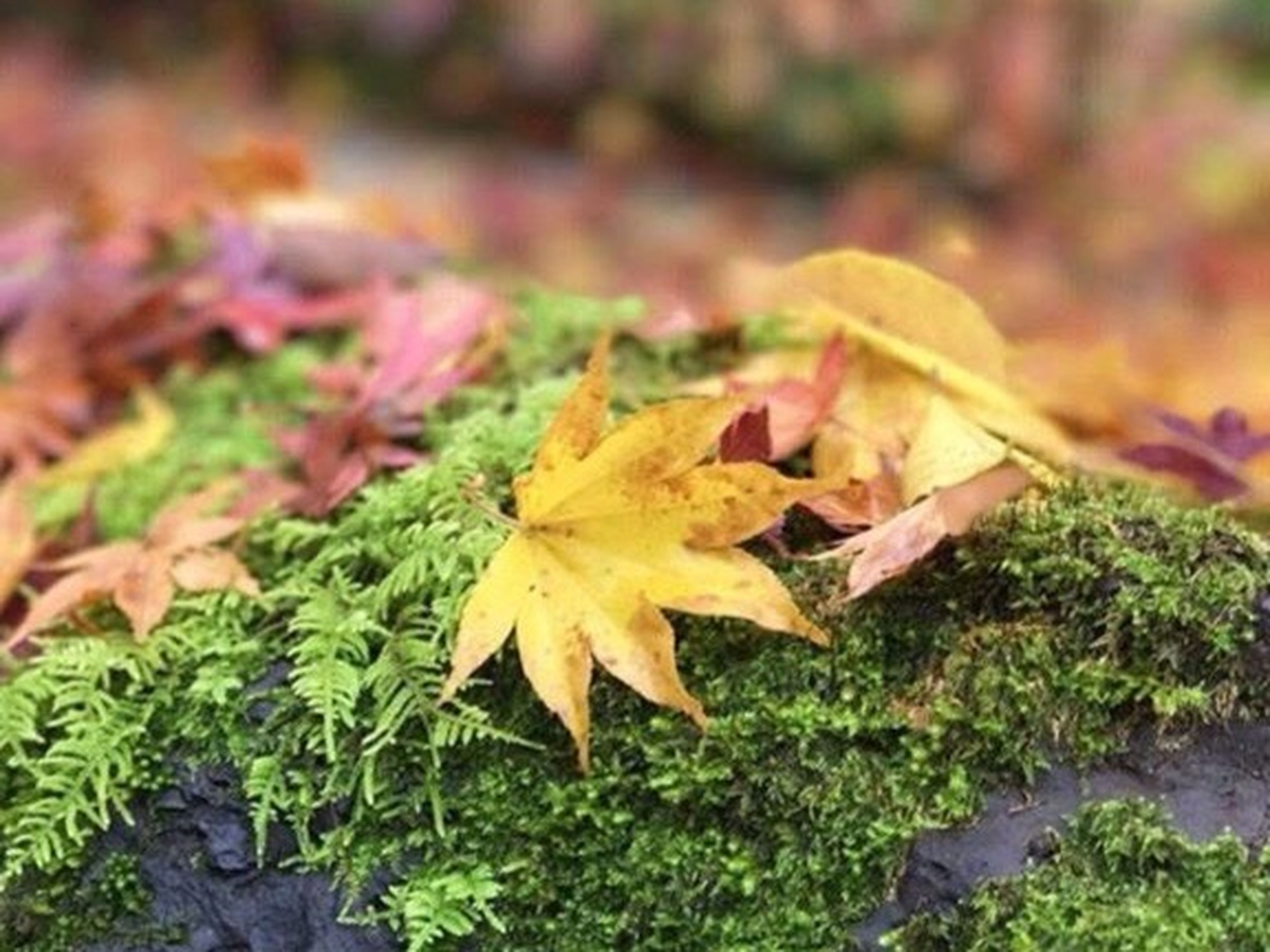 leaf, autumn, change, maple leaf, selective focus, dry, nature, maple, close-up, leaves, no people, outdoors, green color, beauty in nature, day, fallen leaf, grass