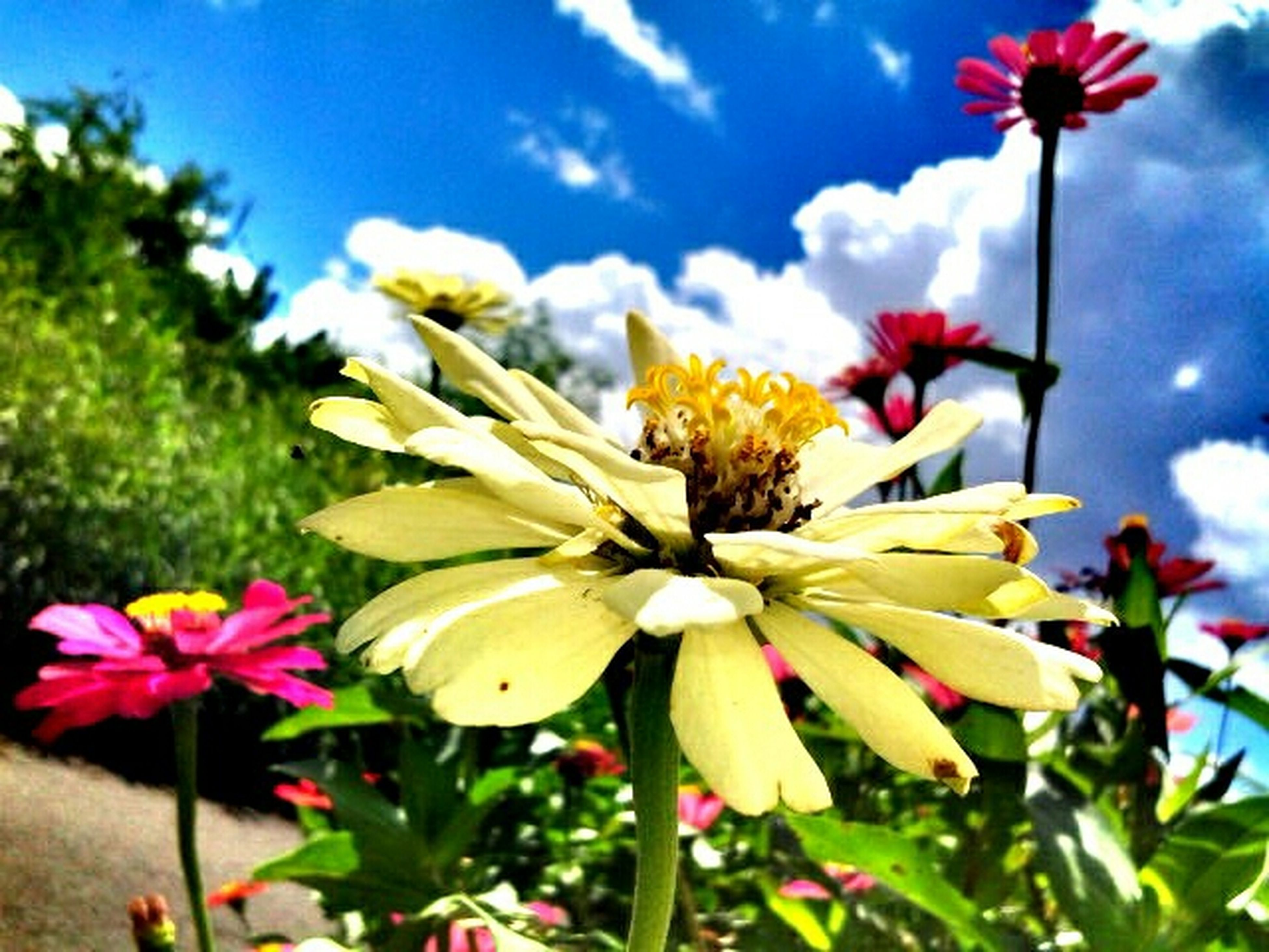 flower, freshness, petal, fragility, flower head, growth, beauty in nature, blooming, nature, close-up, focus on foreground, sky, pollen, in bloom, stem, blossom, plant, stamen, low angle view, day