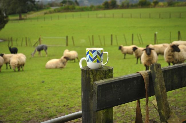 Animal Themes Grass Field Fence Green Color Domestic Animals Newzeland Newzealandphotography Newzealand Sheep🐑 Sheepfarm Sheeps Sheep Farm Snapshot Open Edit OpenEdit Sheep Green Color Mypointofview My Point Of View Farm Cup Cup Of Coffee Coffee Coffee Time