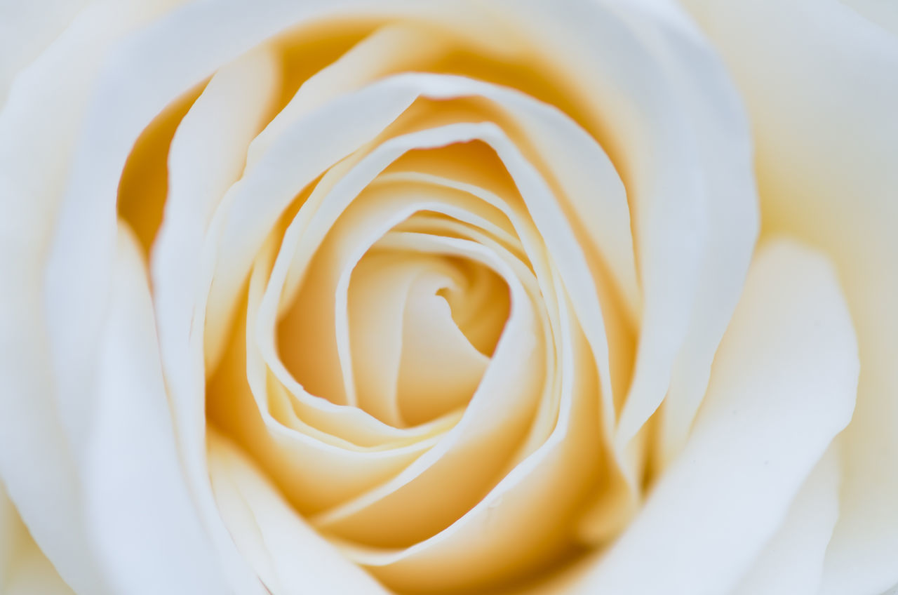 flower, petal, white color, beauty in nature, rose - flower, flower head, freshness, fragility, nature, no people, full frame, close-up, indoors, day