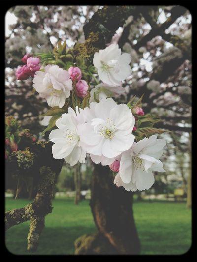 Cherry Blossoms Macro Flower Relaxing