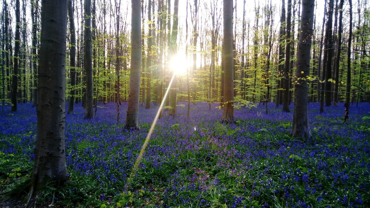 Hallerbos Tree Nature Flower Purple Beauty In Nature Forest Sunlight Tree Trunk Wildflower Outdoors No People Plant WoodLand Uncultivated