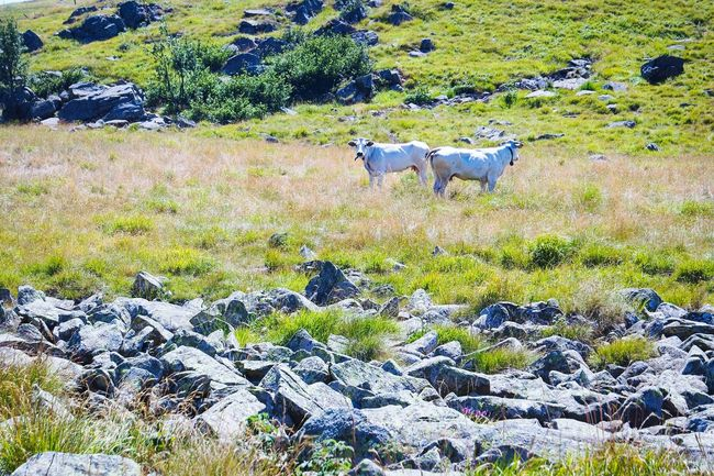 On the Beigua Geopark Taking Photos Nature_collection Nature Photography Cows Landscape_photography Landscape_Collection Color Palette Fresh 3 Open Edit Eye4photography  Colour Of Life EyeEm Best Shots Summer Memories 🌄