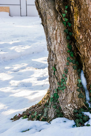 Bark Beauty In Nature Cold Temperature Day Daylight Landscape Moss & Lichen Nature No People Old Outdoors Snow Snow ❄ Tree Tree Trunk Winter