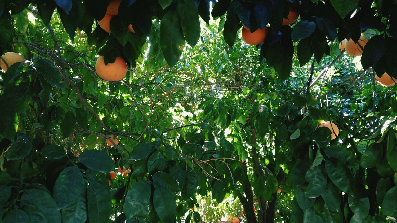 growth, fruit, tree, leaf, food and drink, green color, nature, plant, outdoors, food, day, freshness, orange tree, beauty in nature, healthy eating, branch, no people