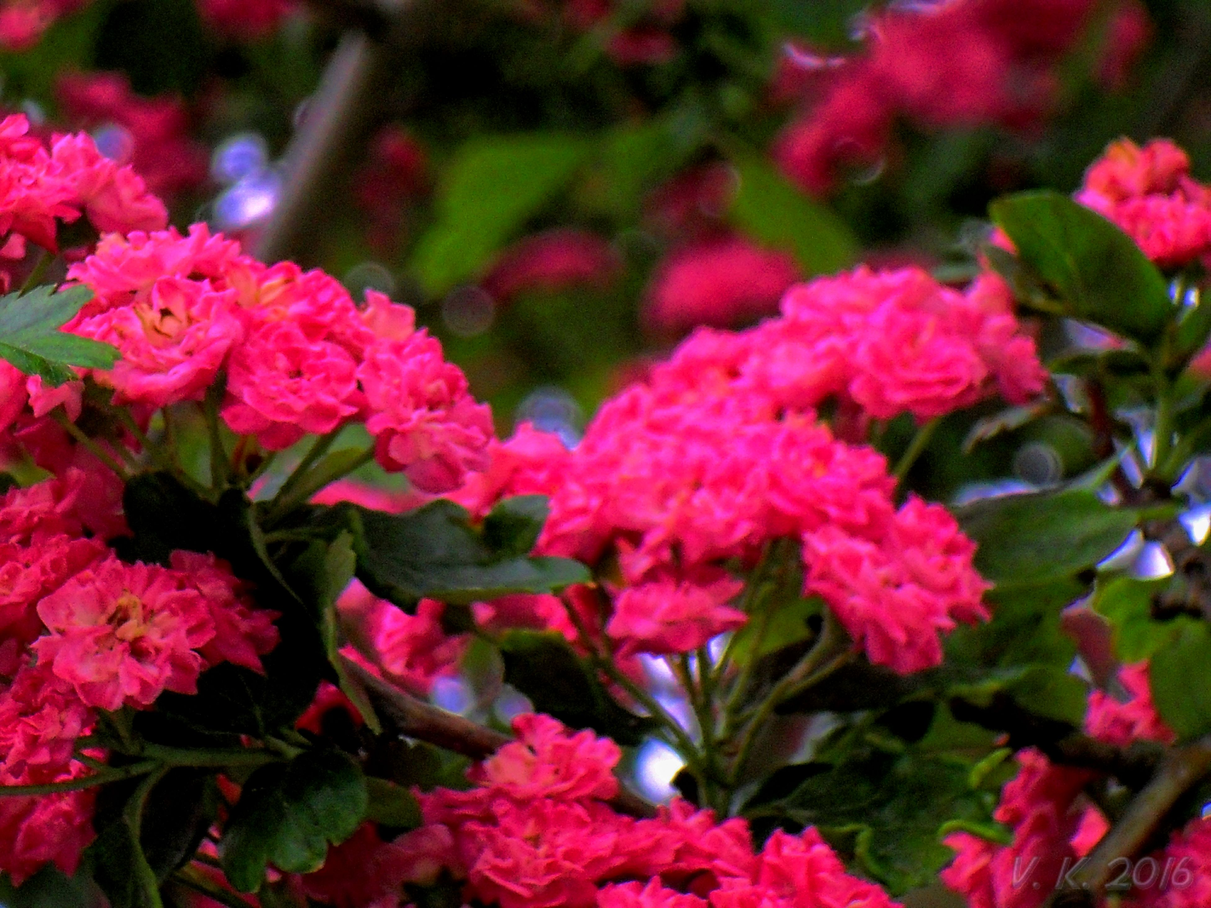 flower, freshness, fragility, growth, beauty in nature, petal, close-up, pink color, nature, springtime, plant, flower head, in bloom, selective focus, botany, bunch of flowers, blossom, day, focus on foreground, vibrant color, blooming, red, flowering plant, softness, garden, formal garden, no people, bloom