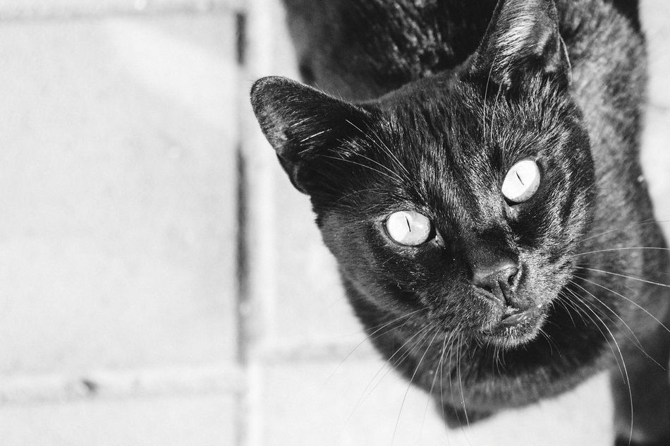 Bagira Panther Cats Cats Of EyeEm Black Cat Blackandwhite High Contrast Black And White Black And White Black & White Black And White Photography Top Angle View Eyes Penetrating Look One Animal Feline No People Cat Piercing Eyes EyeEmNewHere EyeEmNewHere