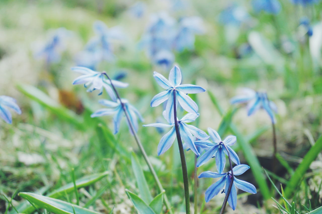 Scilla Beauty In Nature Blue Blue Flowers Close-up Day Flower Flower Head Fragility Freshness Growth Nature No People Outdoors Plant Scilla Spring Spring Flowers Spring Has Arrived Spring Into Spring Springtime