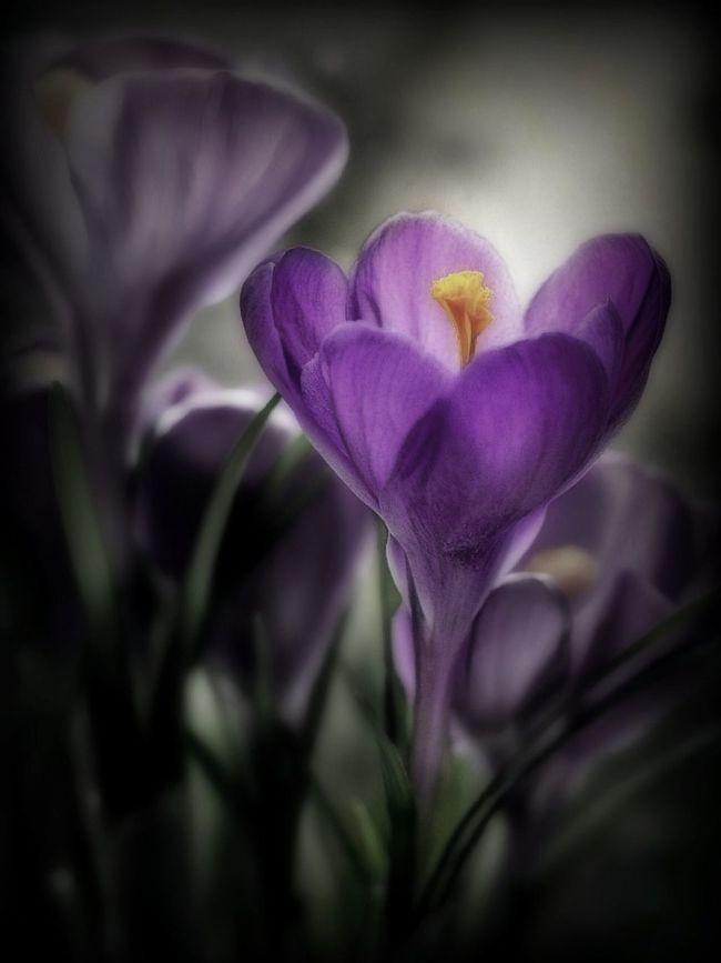 A kiss from a Crocus. Store bought but hopefully soon I see some growing in the grass. IPhoneography Whispers Of Spring Crocus Spring Flowers