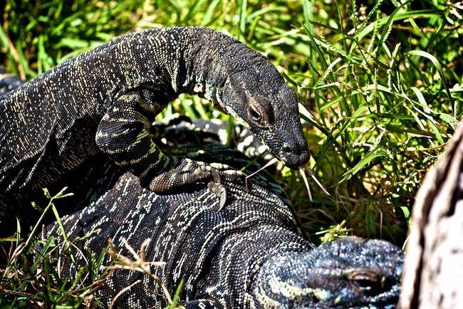 Sydney Australia Zoo Animal Varan