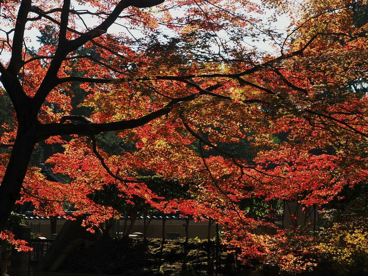Autumnbeauty Autumn Leaves at Ninna-ji 仁和寺 Kyoto, Japan