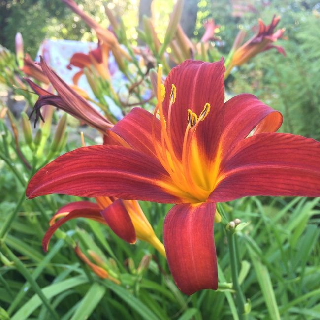 Fine Art Photography Lily Beauty In Nature Close-up Nature Flower Blossom Orange Flower Orange Color Redyellow RedOrange