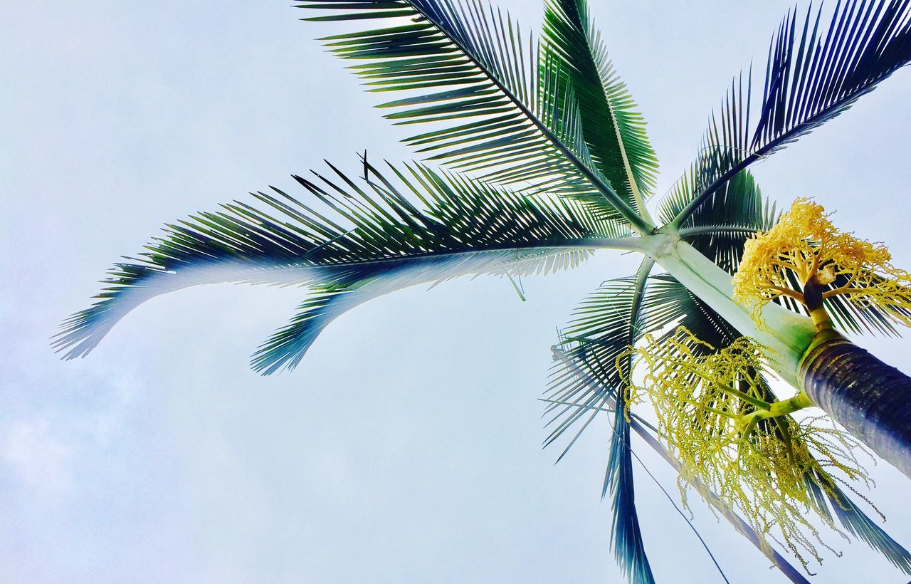 palm tree, low angle view, no people, tree, sky, green color, palm frond, day, leaf, outdoors, growth, close-up, nature