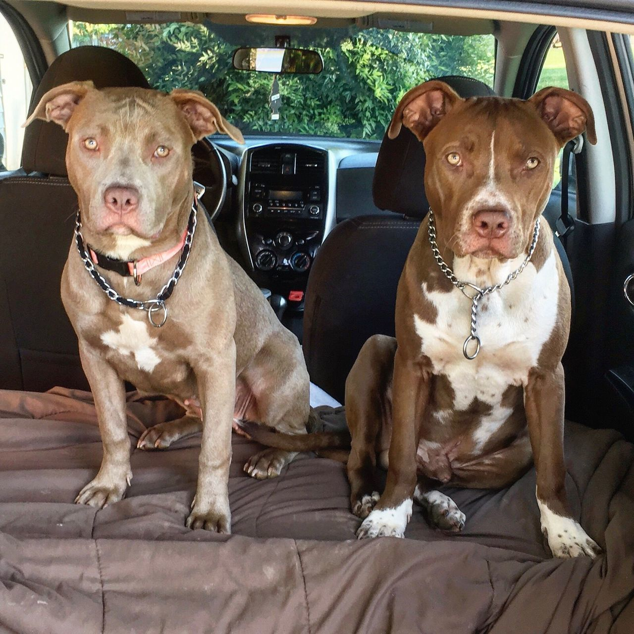 Pitbulls of Campbell Bbk BlueBloodsKennel Pitbulls Bullies Rednose