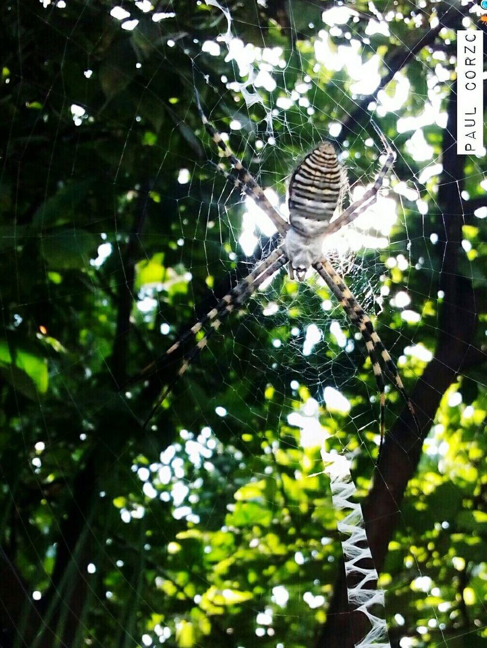ArañaTigre Argentatatrifaciata Mexico City Puebla Atlixco Insectos Spiderspirit Lovespiders Lovebugs Spiders Kingdom Web