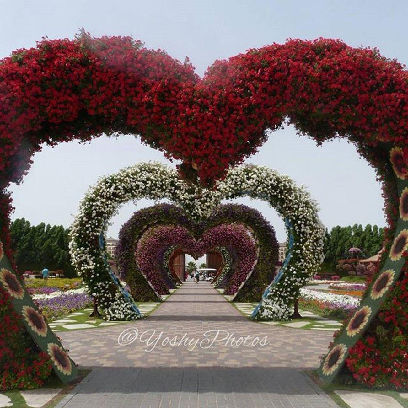 Si mi sueño de amarnos se hiciera realidad... Moncoeurdansunevalise Micorazonenunamaleta Love Flowers MiracleGarden Dubai Hearts Feelings PhotoYoshy March2015 Lumix Mydubai Floreseneldesierto Love Dreams Dreamscometrue