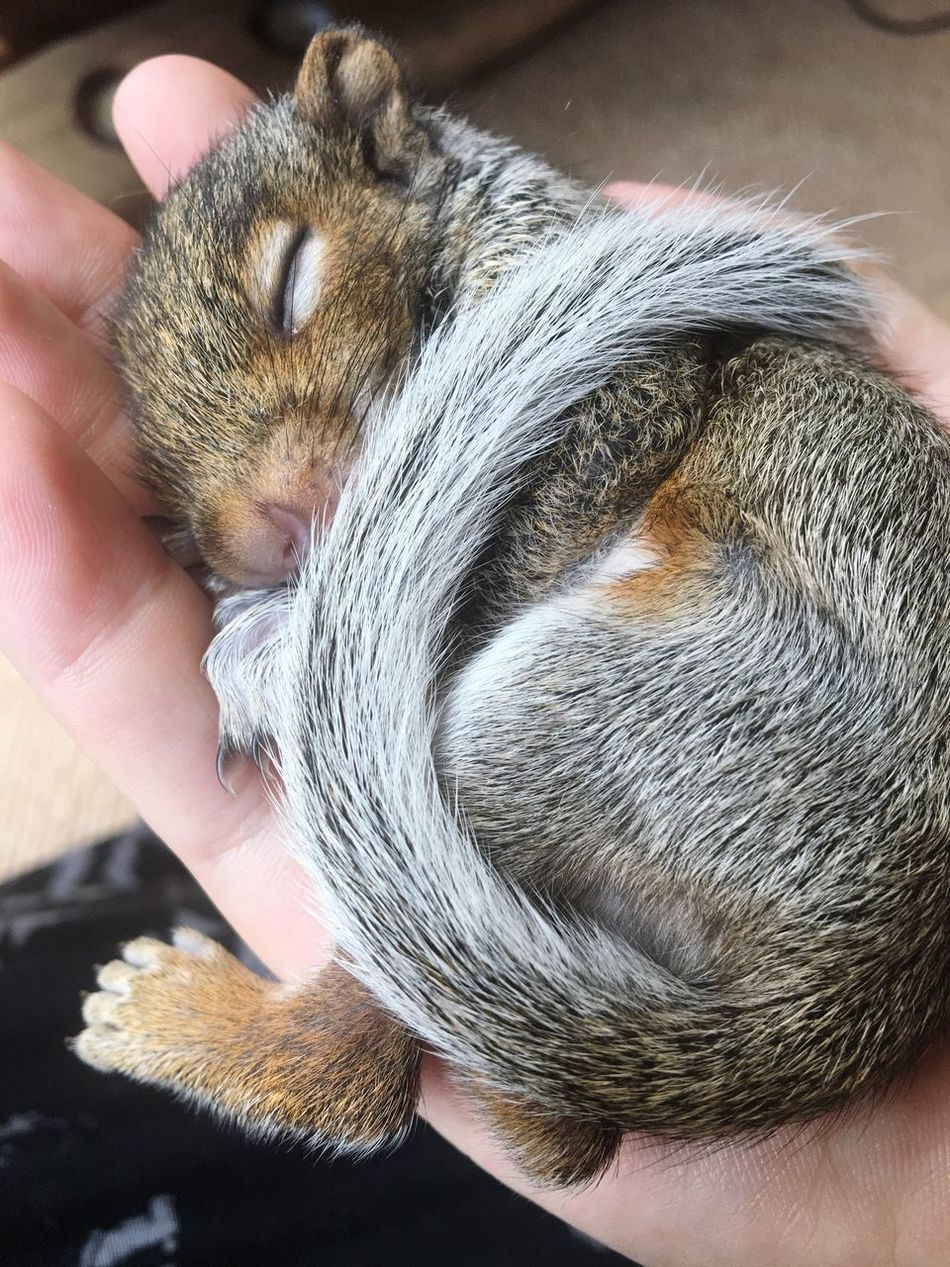 Real People One Animal Animal Themes Domestic Animals Pets Mammal Lifestyles One Person Unrecognizable Person Holding Human Hand Pet Owner Leisure Activity Human Body Part Close-up Indoors  Squirrel Squirrels Squirrel Closeup Squirrel Photo Cute Shotwithiphone6S Day People