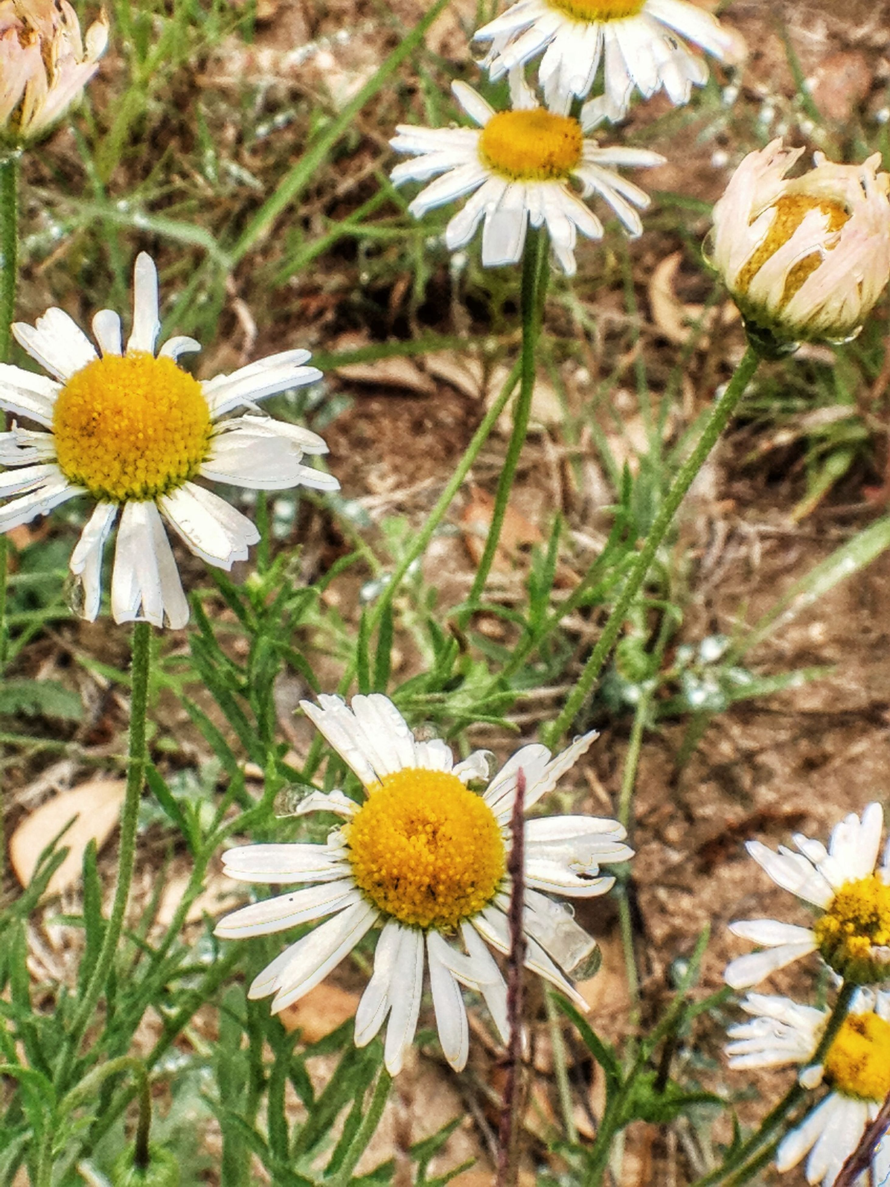 flower, freshness, petal, fragility, yellow, flower head, growth, daisy, pollen, beauty in nature, blooming, nature, close-up, plant, white color, focus on foreground, field, high angle view, in bloom, day