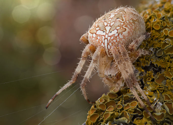 Araneus Diadematus Nature Photography Spider Animal Wildlife Animals In The Wild Araneidae Beauty In Nature Close-up Nature Orb-weaver Spider Outdoors Spider