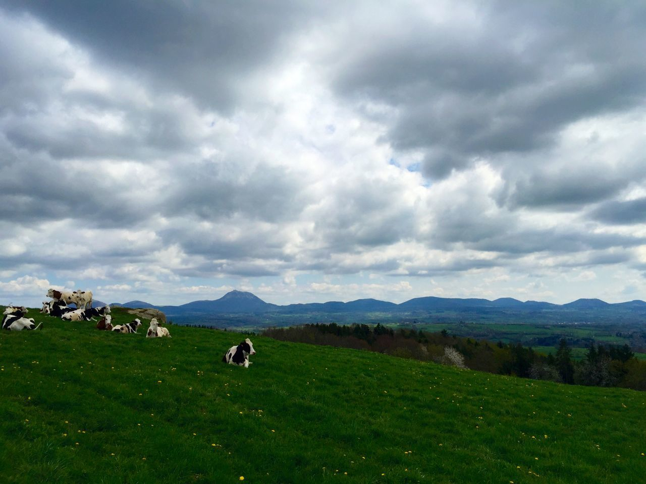 Auvergne Cows Enjoying The View Chainedespuys Myauvergne Enjoying Nature IPhoneography Spring2015 Nature Sky And Clouds