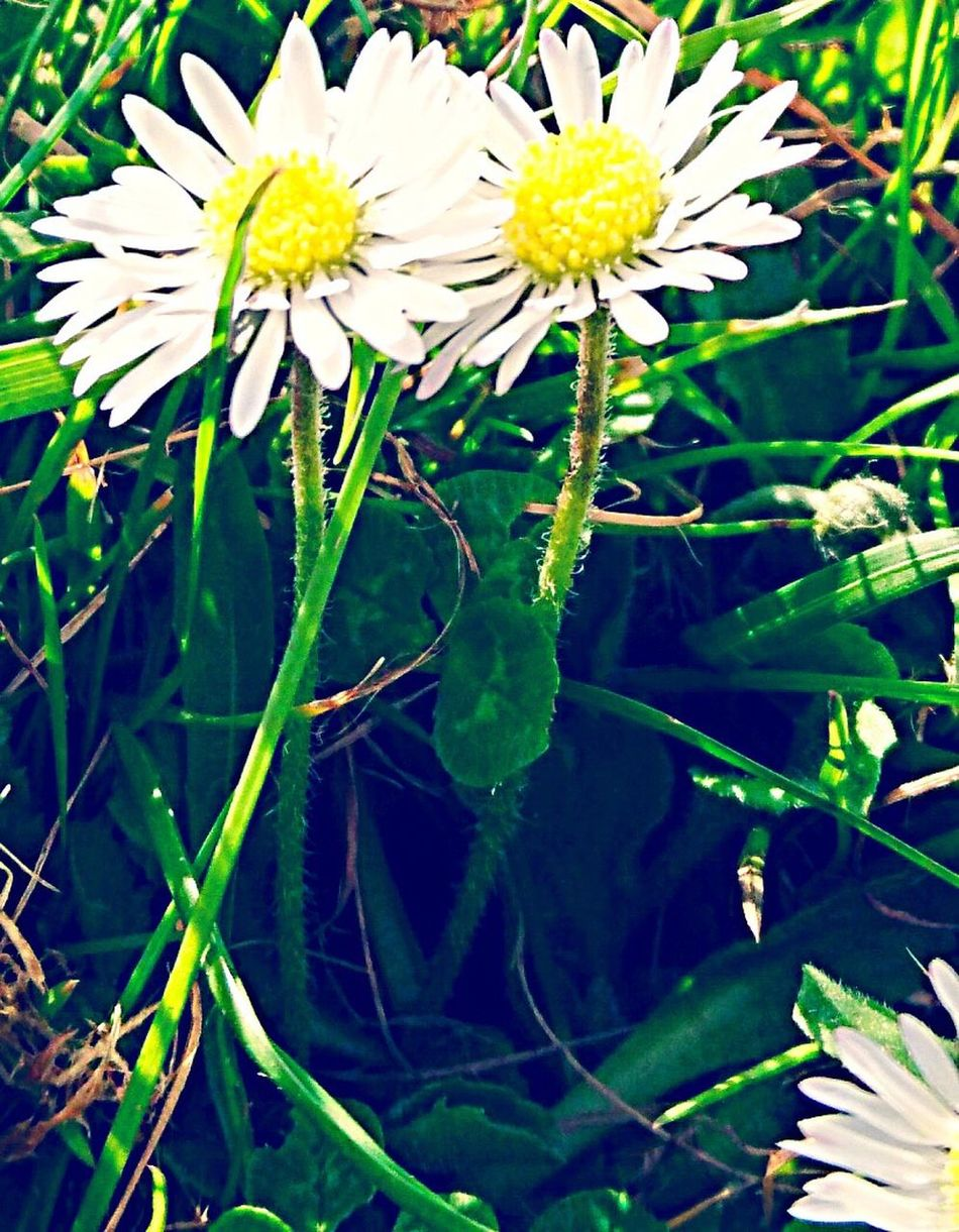 Daisies Flower Growth Nature Spring Leaf Beauty In Nature Freshness Flower Head No People Outdoors Close-up Day Eastsussex EasterWeekend Naturescolours