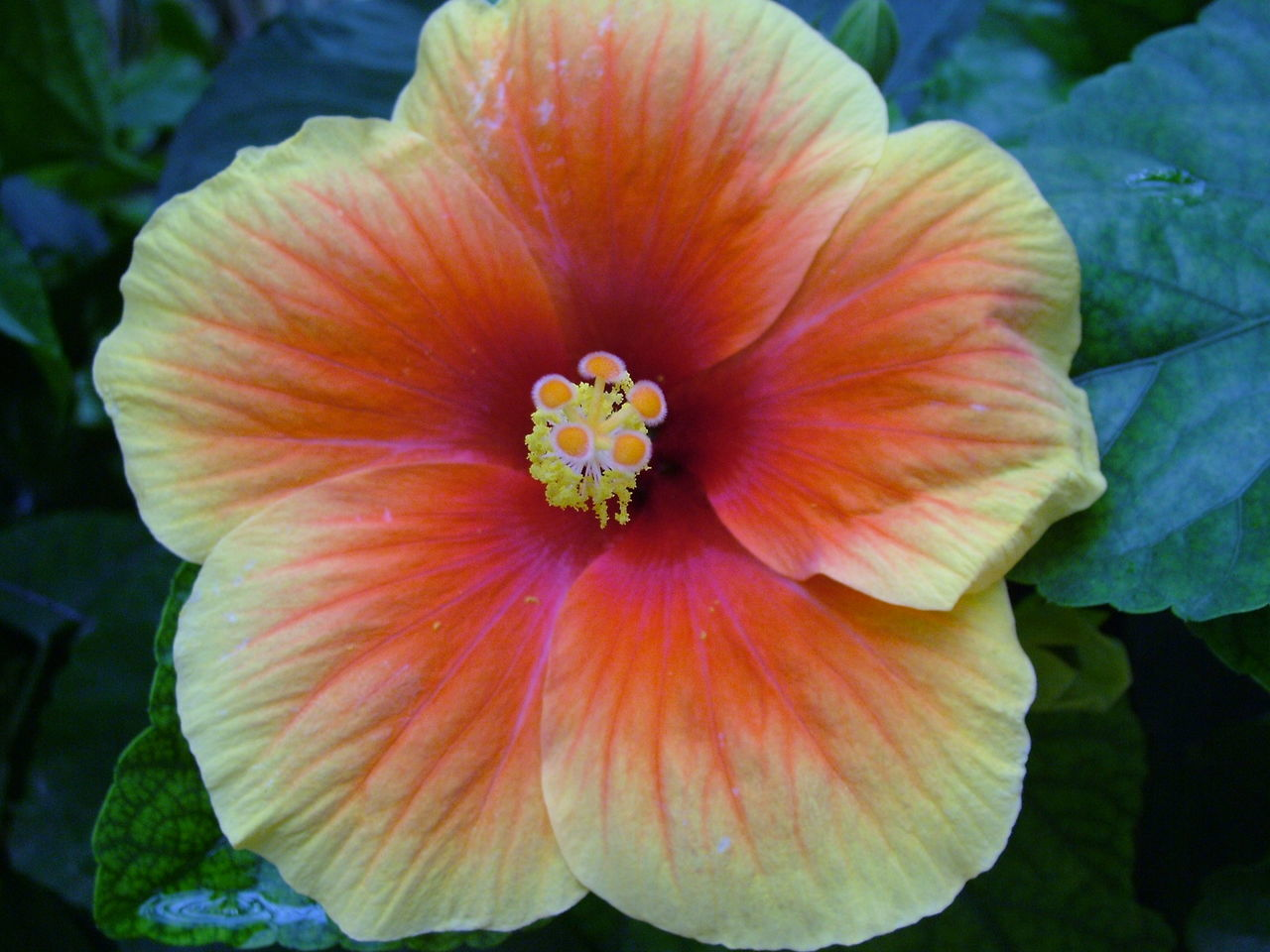 Close-Up Of Hibiscus Blooming Outdoors