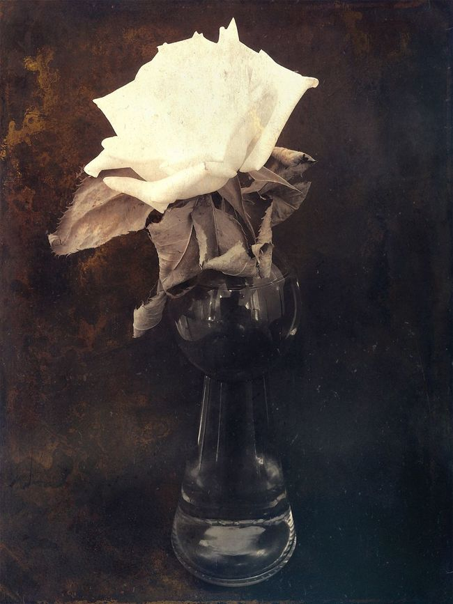 Rose White Dried Flowers Dried Rose White Flower Brown Background Edit Roses Stackables Stackablesapp Bronze Color IPhone Photography Iphonephotography Iphone5s Iphoneonly Rose - Flower Home Style