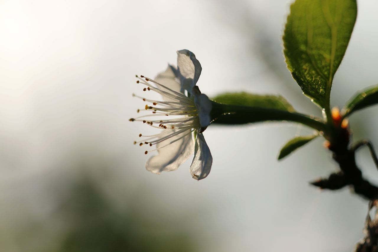 nature, flower, fragility, growth, close-up, beauty in nature, freshness, flower head, petal, no people, outdoors, day, plant, plum blossom
