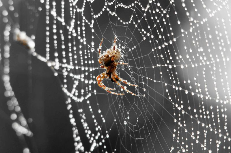 Spider in a web with rain drops Close-up Dew Drop Focus On Foreground Natural Pattern One Animal Rain Spider Spider Web Web Wet