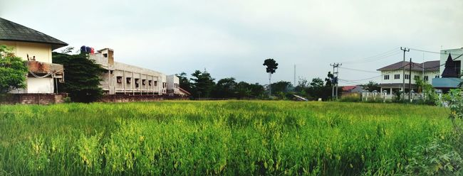 Ricepaddy Agriculture Photography Panoramashot