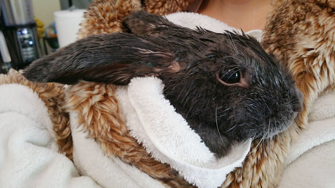 Pumper your rabbit! :D Taking Photos Check This Out Bath Time Bath Rabbit Wet Wet Hair Freshness Pet Pets French Lop Rabbit Domestic Animals