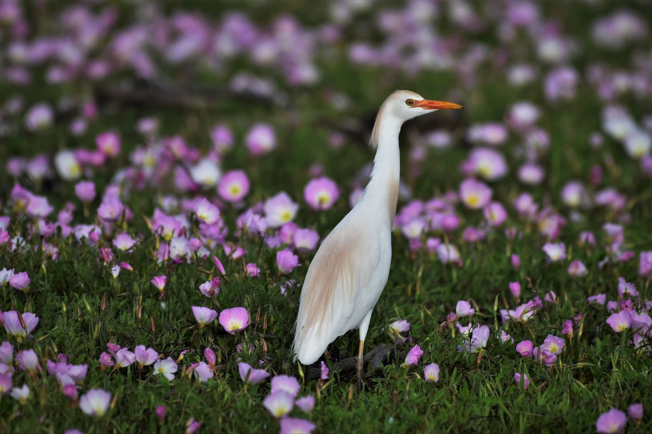 Male Cattle Egret with breeding plumage in field of Evening Primroses Animal Themes Audubonsociety Beauty In Nature Bird Cattleegret Flower Godblesstexas Nature Outdoors Texas Texas Photographer