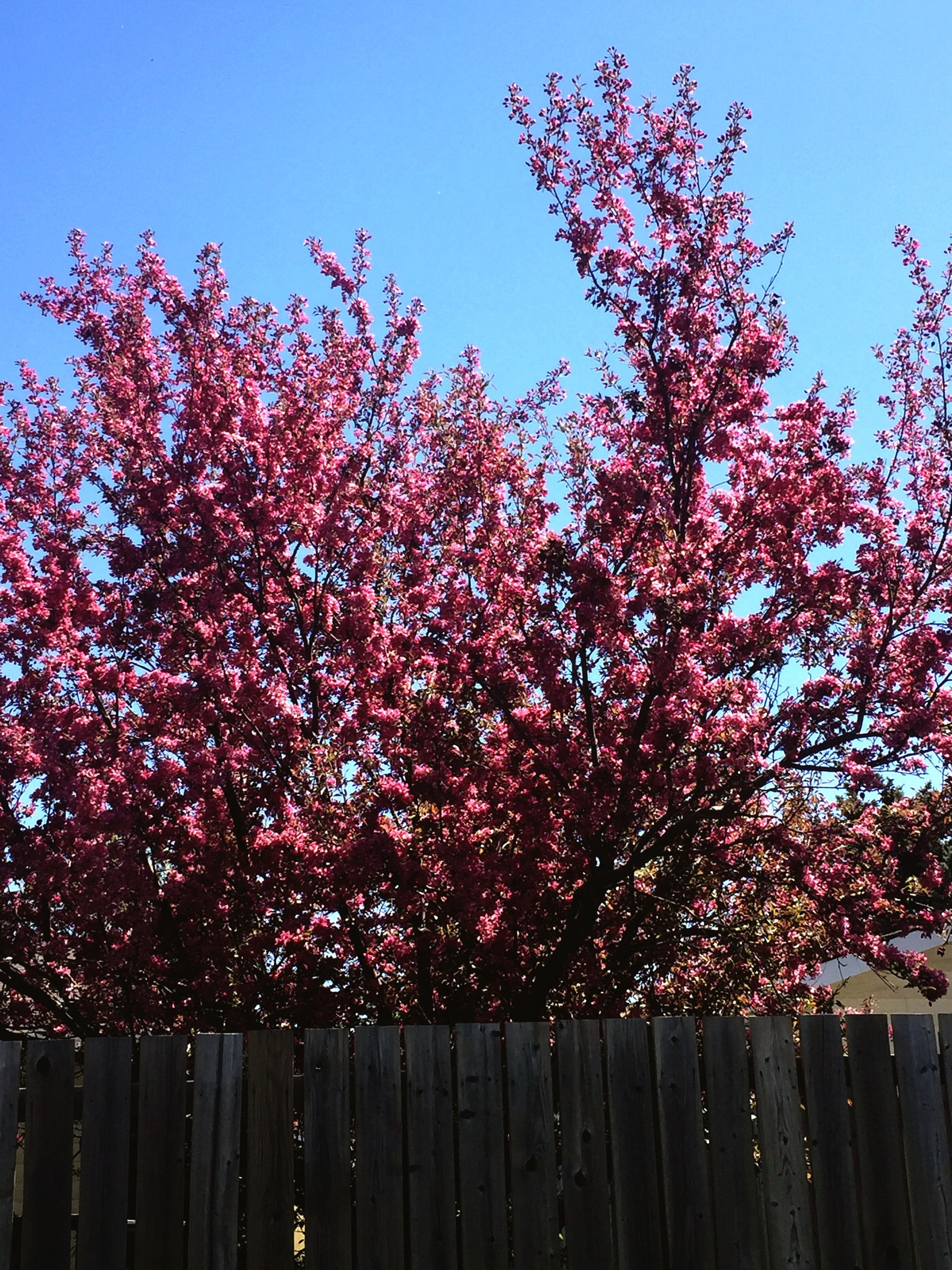 flower, tree, growth, clear sky, freshness, low angle view, beauty in nature, branch, pink color, nature, fragility, red, sky, blossom, blue, cherry tree, in bloom, blooming, springtime, outdoors