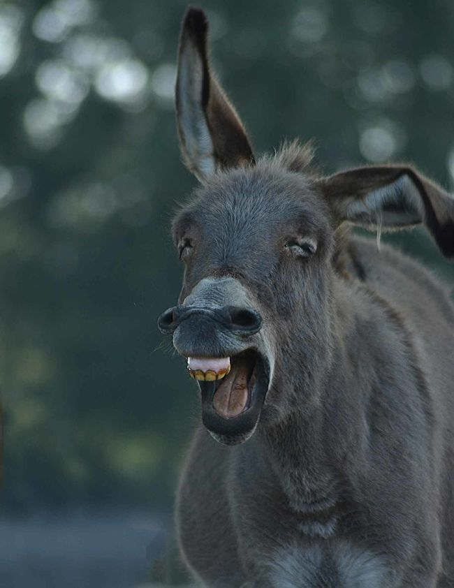 Animal Hair Animal Head  Animal Nose Animal Themes Close-up Day Dentist Donkey Happy Laughing Out Loud One Animal Outdoors Smile Snout Teeth Whisker Zoology
